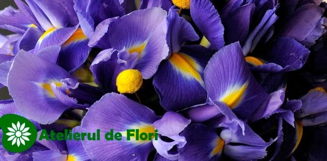 Irisi mov