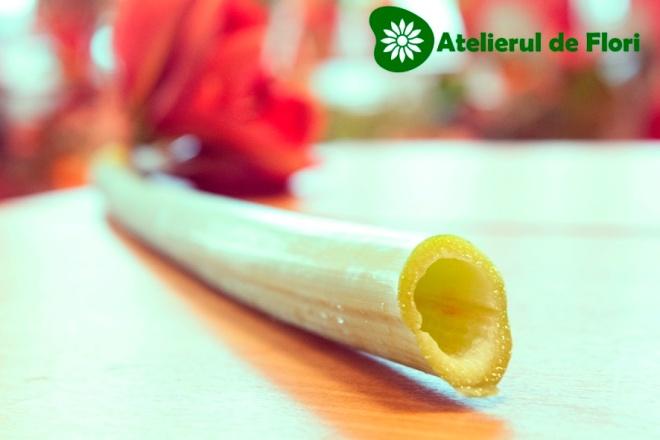 Coada tubulara de amarilis