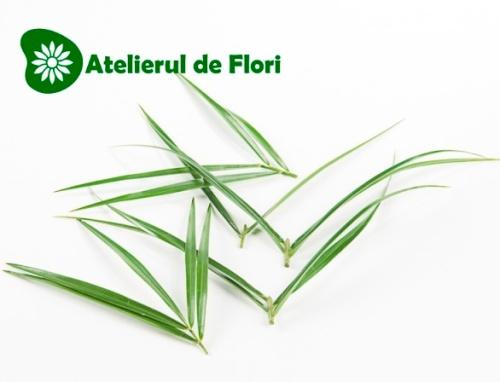 robelini frunza de palmier