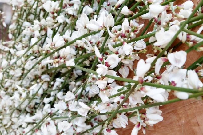 ginestra-ginster-cut-flower